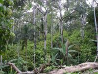 Cocoa based agroforest in the Talamanca bribri reserve, Costa Rica © Olivier Deheuvels, Cirad